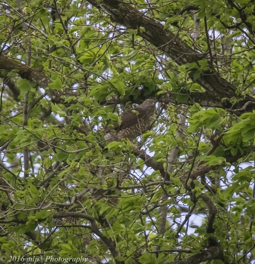 Brown Goshawk, Princes Highway, Berwick, 30 Oct 2016