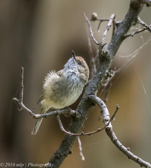 Brown Thornbill, Wilson Botanic Park, Berwick, Victoria, 6 Nov 2016