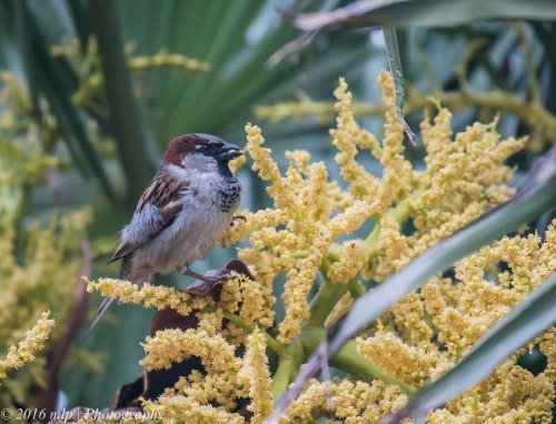 House Sparrow, Ormond Road, Elwood, Victoria, 1 Nov 2016