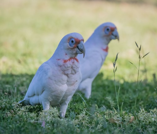Long billed Corella, Elster Creek, Elsternwick, Victoria 19 Nov 2016