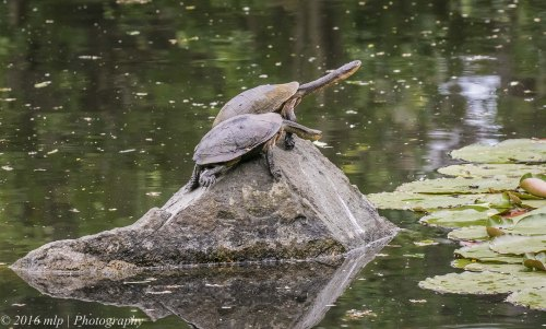 Long necked Turtles, Wilson Botanic Park, Berwick, Victoria, 30 Oct 2016
