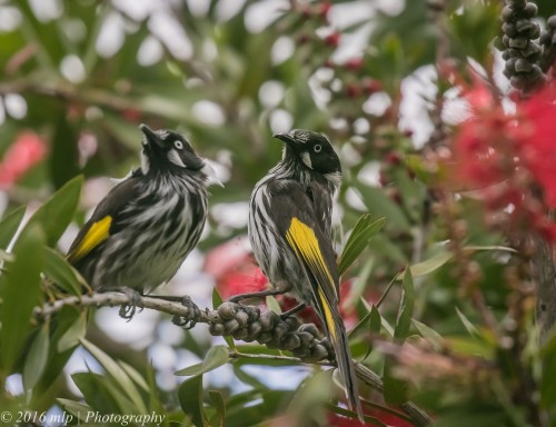 New Holland Honeyeater, Princes Highway, Berwick, 30 Oct 2016