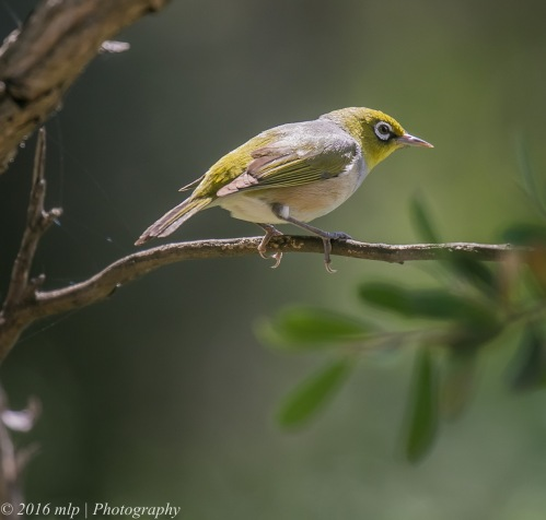 Silvereye, Point Ormond, Elwood, Victoria, 1 Nov 2016