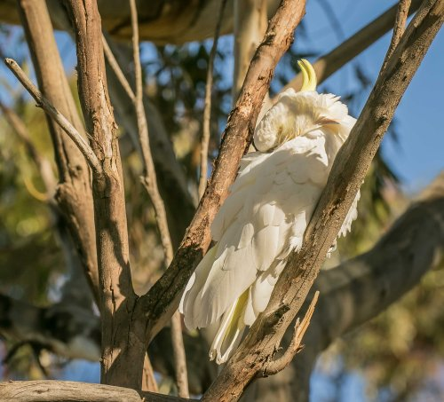 Sulphur crested Cockatoo, Elster Creek, Elsternwick, Victoria 19 Nov 2016