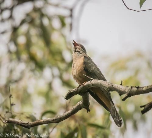 Brush Cuckoo, Adams Creek Reserve, Nyora, Victoria, 4 Dec 2016