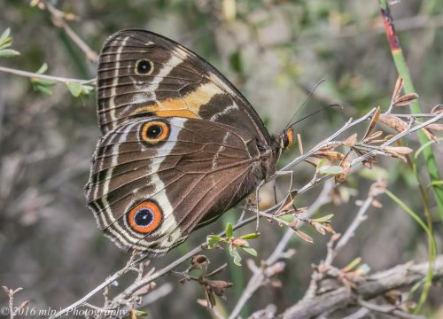 Common Brown Butterfly, Adams Creek Reserve, Nyora, Victoria, 4 Dec 2016
