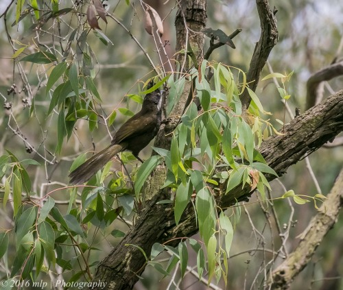 Eastern Whipbird, Adams Creek Reserve, Nyora, Victoria, 4 Dec 2016