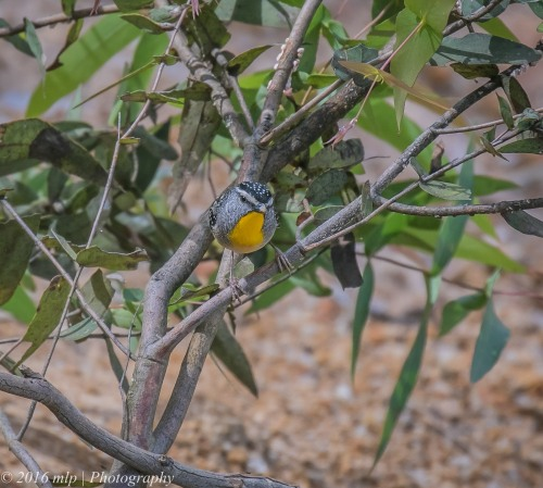 Spotted Pardalote, Adams Creek Reserve, Nyora, Victoria, 4 Dec 2016