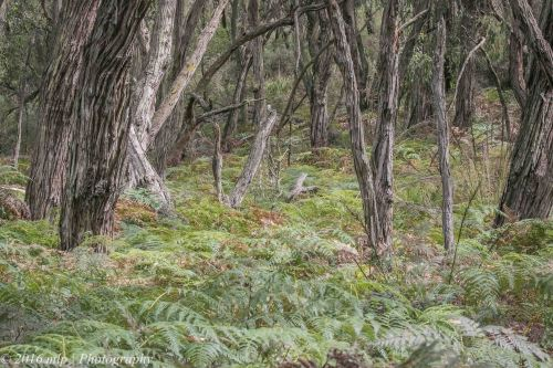 Under-story, Adams Creek Reserve, Nyora, Victoria, 4 Dec 2016