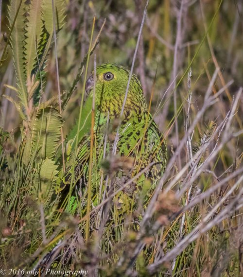 Eastern Ground Parrot, Shipwreck Creek, Mallacoota, Victoria, 18 Dec 2016.JPG