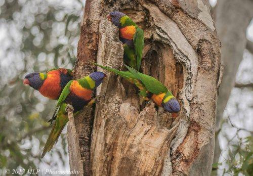 Rainbow Lorikeets, Braeside Park, Victoria, 3 Jan 2017