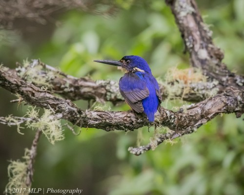 Azure Kingfisher, Gypsy point, Victoria, 20 Dec 2016