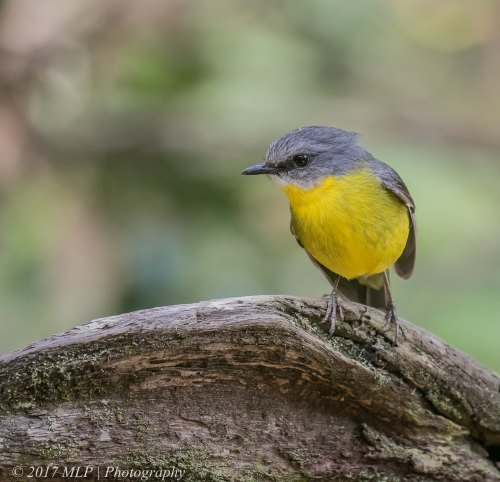 Eastern yellow Robin, Shipwreck Creek, Mallacoota, Vic, 18 Dec 2016