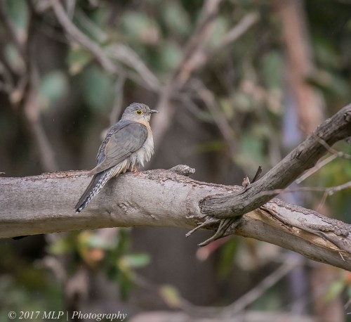 Fan-tailed Cuckoo, Shipwreck Creek, Mallacoota, Vic, 18 Dec 2016