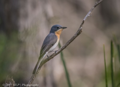 Female Leaden Flycatcher, Shipwreck Creek, Mallacoota, Vic, 18 Dec 2016