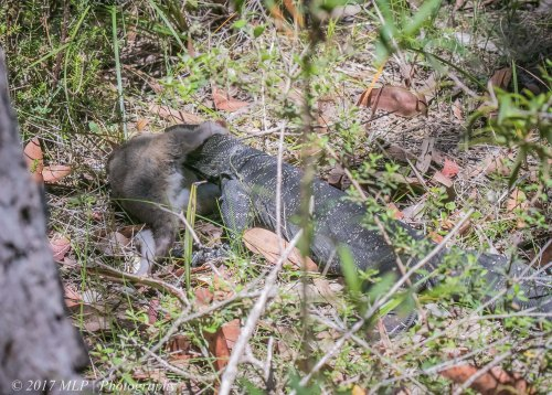 Lace Monitor with Possum, Heathland walk, Mallacoota, 19 Dec 2016