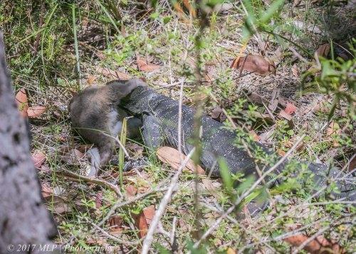 Lace Monitor with Possum, Heathland walk, Mallacoota, 19 Dec 2016