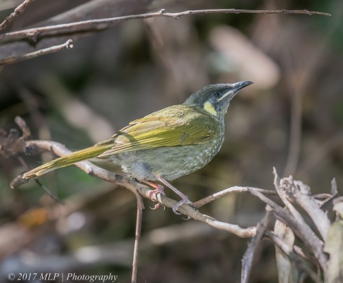 Lewins Honeyeater, Mallacoota, Vic, 21 Dec 2016