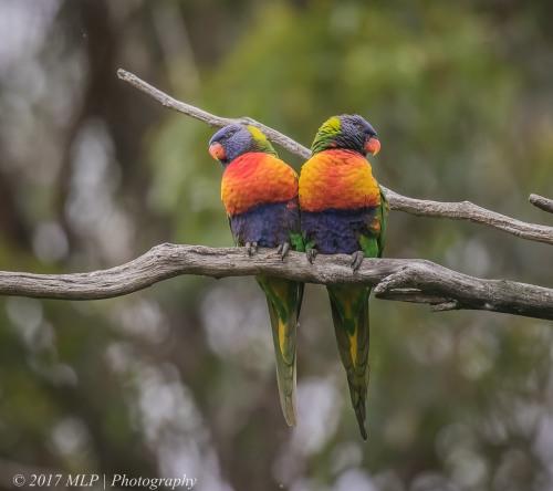 Rainbow Lorikeet,  Karbeethong, Victoria, 20 Dec 2016