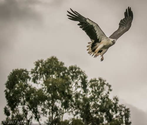 White-bellied Sea-eagle, Gypsy Point, Victoria, 20 Dec 2016