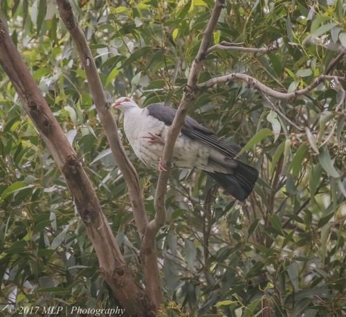 White-headed Pigeon, Karbeethong, Victoria, 20 Dec 2016