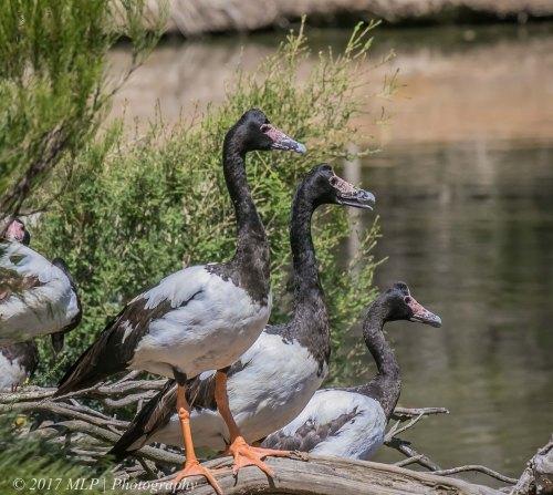 Magpie Goose, Serendip Sanctuary, Lara, Victoria