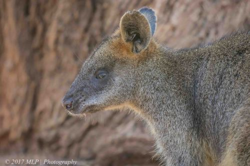 Swamp Wallaby, Serendip Sanctuary, Lara, Victoria