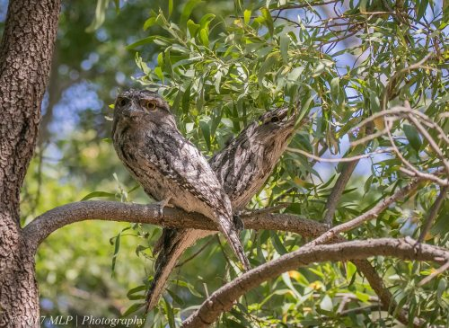 Tawny Frogmouths, Braeside Park, Victoria 5 Jan 2017