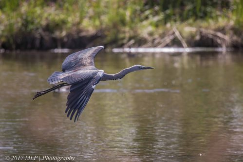 White-necked Heron, Elster Creek Wetlands, Elsternwick, Vic