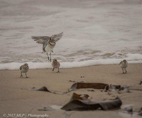 Double Banded Plover, Red-necked Stints, Flinders Ocean Beach, Flinders, Vic