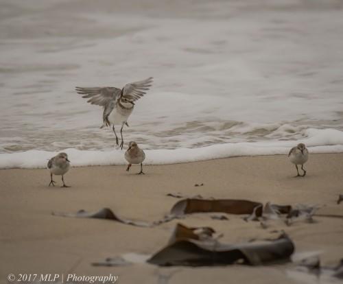 Double Banded Plover, Red-necked Stints, Flinders Ocean Beach, Flinders, Vic