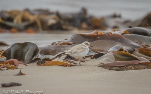 Juvenile Hooded Plover, Flinders Ocean Beach, Flinders, Vic