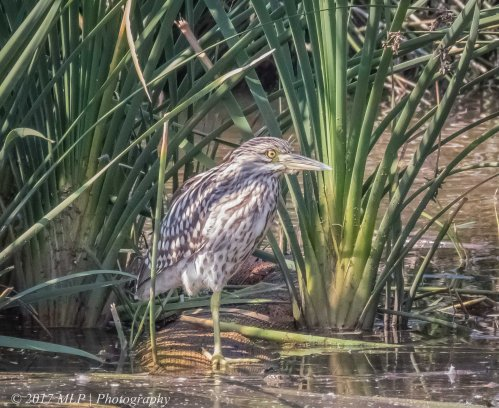 Juvenile Nankeen Night Heron, Elster Creek Wetlands, Elsternwick, Vic