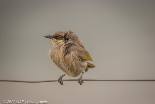 Singing Honeyeater, Flinders Ocean Beach, Flinders, Vic