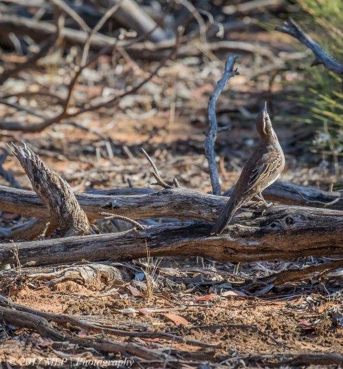 Chestnut Quail-thrush, Konardin Track, Hattah Kulkyne National Park, Vic