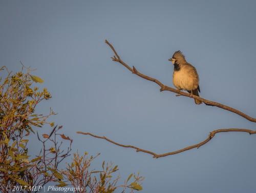 Crested Bellbird, Nowingi Track, Hattah Kulkyne National Park, Vic