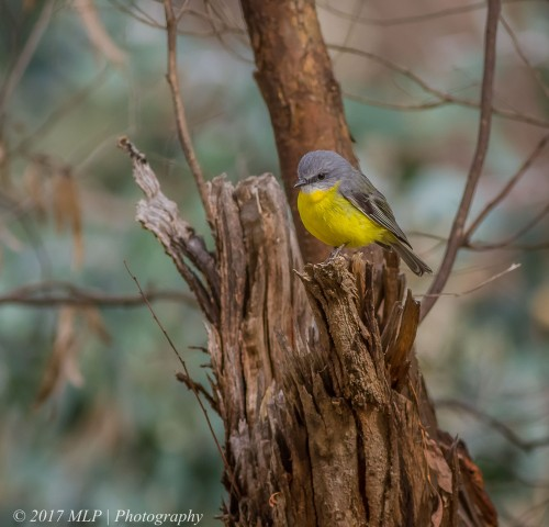 Eastern Yellow Robin, Rise and Shine Bushland Reserve, Yandooit, Victoria