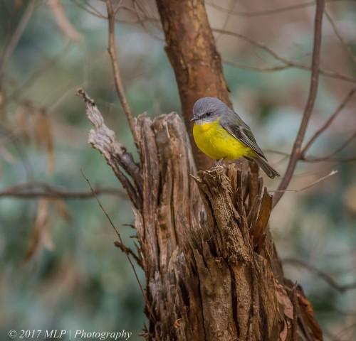 Eastern Yellow Robin, Rise and Shine Bushland Reserve, Yandooit, Victoria