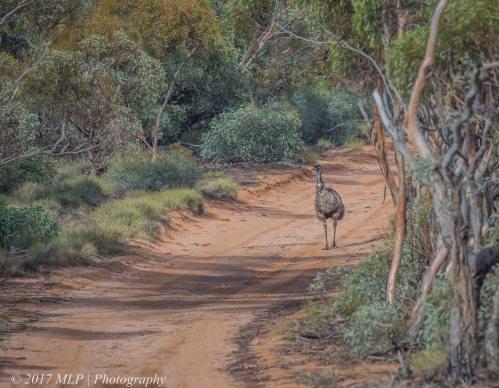 Emu, Nowingi Track, Hattah Kulkyne National Park, Vic