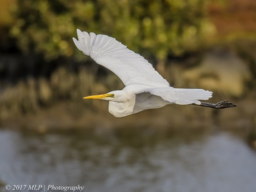 Great Egret, Kororoit Creek, Altona, Vic