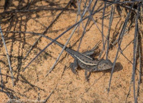 Mallee Dragon, Nowingi Track, Hattah Kulkyne National Park, Vic