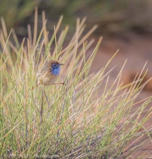 Mallee Emu-wren, Nowingi Track, Hattah Kulkyne National Park, Vic