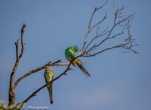 Mulga Parrots, Hattah Kulkyne National Park, Vic