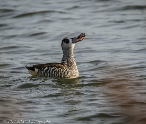 Pink-eared Duck, Jawbone Flora and Fauna Reserve, Williamstown