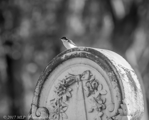 Restless Flycatcher, Newstead Cemetery, Newstead, Vic