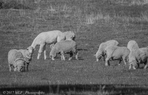 Sheep, Newstead, Victoria