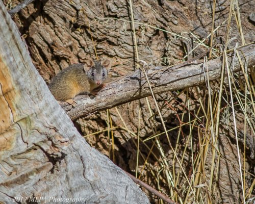 Yellow-footed Antechinus, Rise and Shine Bushland Reserve, Sandon, Vic