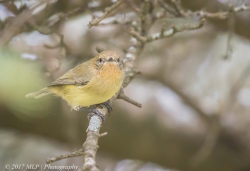 Yellow Thornbill, The olds, Moorooduc, Vic
