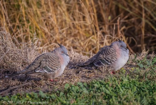 Crested Pigeons, Jawbone Flora and Fauna Reserve, Williamstown, Vic