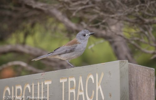 Grey Shrikethrush, Cape Schanck, Mornington Peninsula National Park, Vic